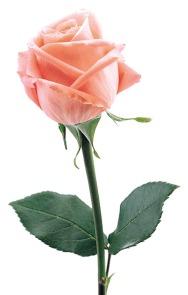 smells like roses