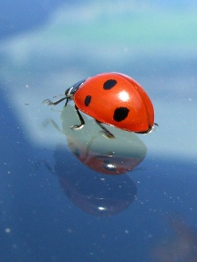 ladybug on windshield